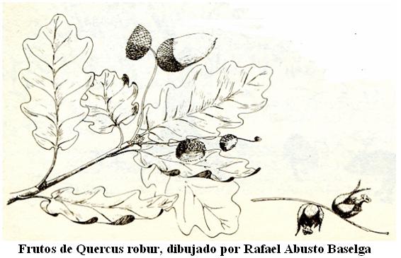quercus11