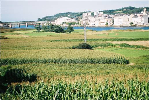 Plantación masiva de maiz como forraje,sustituyendo al pasto tradicional